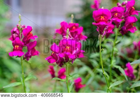 Many Pink Magenta Dragon Flowers Or Snapdragons Or Antirrhinum In A Sunny Spring Garden