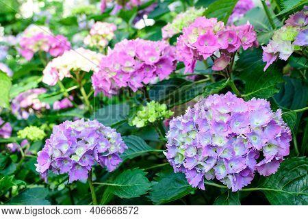Magenta Pink Hydrangea Macrophylla Or Hortensia Shrub In Full Bloom In A Flower Pot, With Fresh Gree