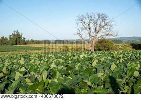 Soybean Crop In Early Maturation And Grain Formation