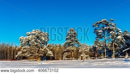 Pine Trees On A Frosty And Sunny Winter Day