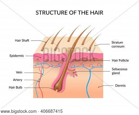 Human Hair Anatomy Infographics With Cross Section Of Skin Layers Hair Follicle Bulb And Shaft And S