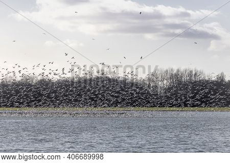 Large Group Of Flying Gulls Chroicocephalus Ridibundus From The Water Surface From A Lake In The Eas
