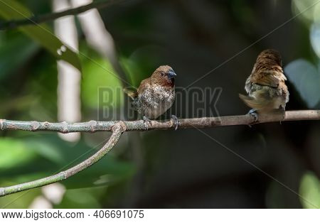 The Scaly-breasted Munia Or Spotted Munia Perching On Tree Branch , Thailand