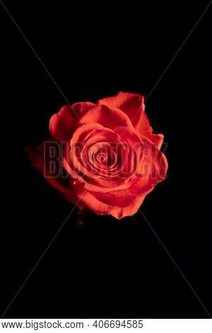 Exquisite Scarlet Rose On A Stem On A Black Background. Low Key Photography.