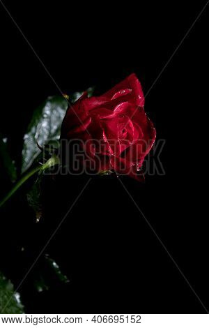 Beautiful Exquisite Burgundy Rose On A Stem On A Black Background. Low Key Photography.