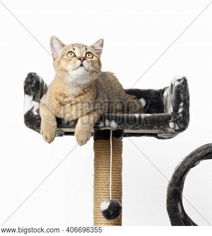 Gray Purebred Kitten Scottish Straight Chinchilla Lies On A Multi-level Playhouse, White Background