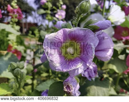 Beautiful Pink Hollyhock Flowers Are Dying, Close Up