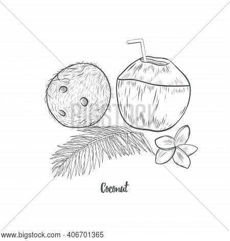 Coconut Hand Drawn Sketch Isolated On White Background. Whole And Half Of Tropical Coconut Vector Il