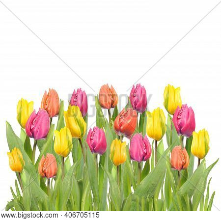 Tulips In A Field Of Tulips. Bright Tulips. Beautiful Tulips In Spring Time. Colorful Tulips Flower