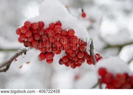 Winter Ashberry Under The Snow Close Up. Groups Of Bright Red Berries, Mountain Ash. Red Rowanberry