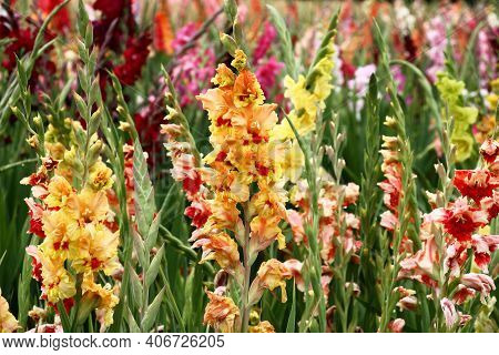 Various Flowers Gladioluses On Forward And Back Plans. Motley Collection Of Bulbous Plants.