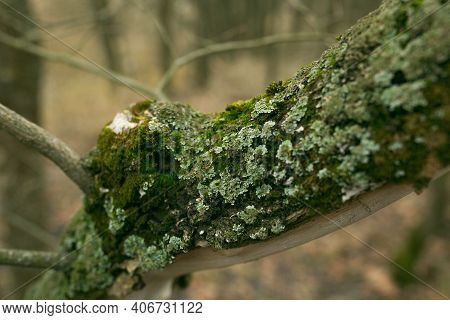Green Lichen On The Bark Of A Tree. The Trunk Of The Tree Is Affected By Lichen. Moss On A Tree Bran