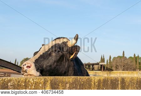 Close-up Of A Cow (bos Taurus) Poking Its Head Through A Concrete Wall On A Sunny Morning On The Isl