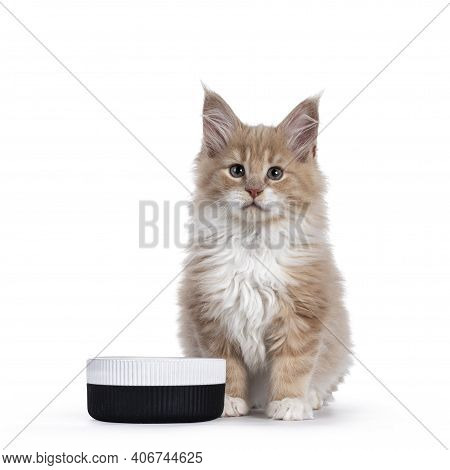 Fluffy Creme With White Maine Coon Cat Kitten, Sitting Beside Ceramic Food Bowl. Looking Towards Cam