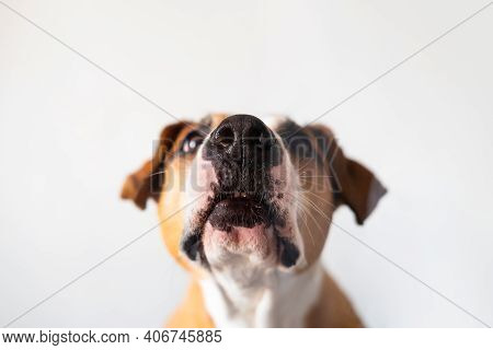 Close-up View Of A Dog Nose, Shot Through The Glass In White Backdrop. Funny Pet Portraits With Copy