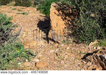 Wild Red Legged Partridge In Natural Habitat, Attica Greece