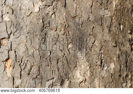 Tree Bark Close Up. Bark Of An Old Giant Tree. Tree Bark Textures, Patterns And Background