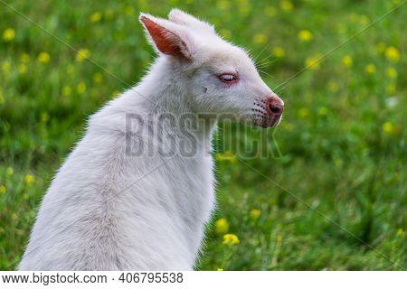 Small Albino Wallaby On A Green Field Farm Animal.