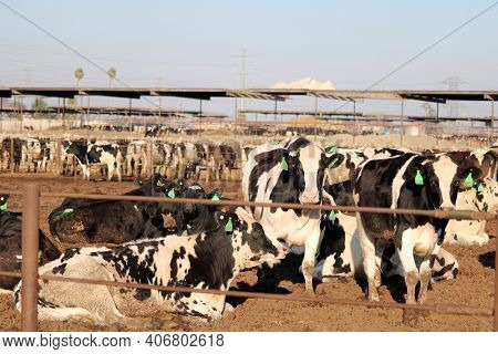 February 5, 2021 In Chino, Ca:  Dairy Cows On A Pasture At A Dairy Farm Which Produces And Sells Mil