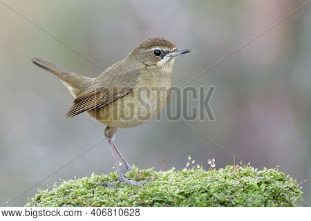 Oval Shape Of Lovely Brown Bird With Puffy Feathers And Wagging Tail Stepping On Fresh Green Moss In