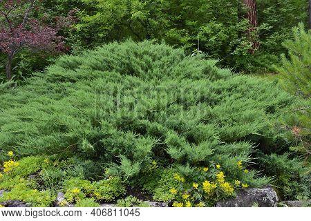 Green Horizontal Bush Of Cossack Juniper ( Lat. Juniperus Sabina) In Rocky Garden. Juniper Is Evergr