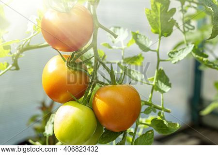 Bunch Of Organic Ripe And Unripe Green Tomato In Greenhouse. Homegrown, Gardening And Agriculture Co
