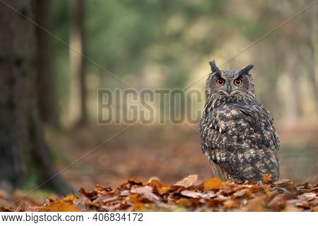Eurasian Eagle-owl Noctural Raptor On Autumn Leaves With Creamy Background Of Colorful Forest