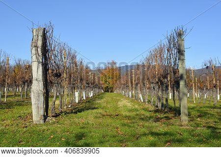 A Field Of Grapevines In The Autumn Landscape Near The Village Of Moimacco Close To Cividale Del Fri