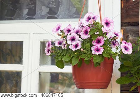 Petunia Flower. Collection Of Bright Potted Flowers By The Window. Petunia Parviflora