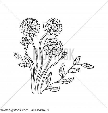 Handmade Contour Drawing Of Herbal Flower Marigold Pharmaceutical Marigold Vector Botanical Illustra