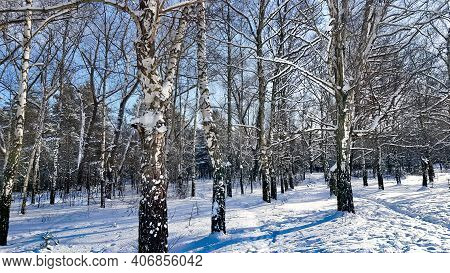 Snow-covered Birch Grove On A Winter Sunny Day In Riga, Latvia Cold Winter Weather.