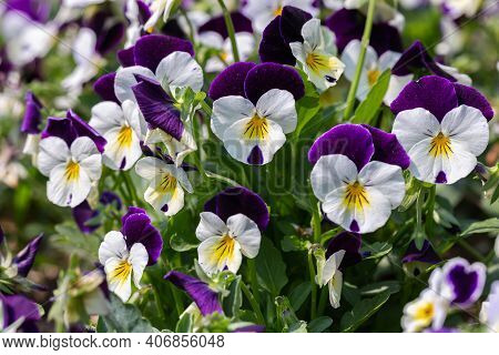 Viola Flower. Flower In Garden At Spring Day. Flower For Decoration And Agriculture Concept Design.