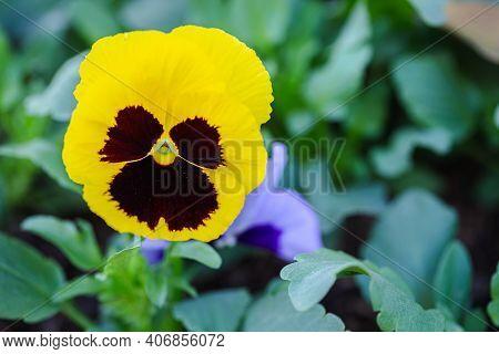 Viola Flower. Flower In Garden At Spring Day. Flower For Decoration And Agriculture Concept Design.