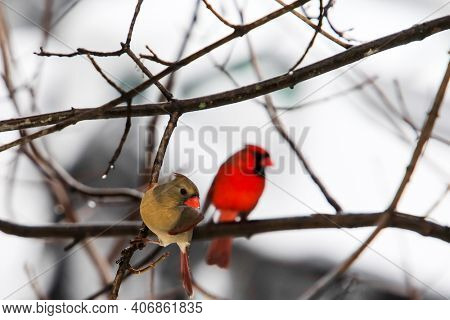 Two cardinal male and hemale sitting outside on tree in winter