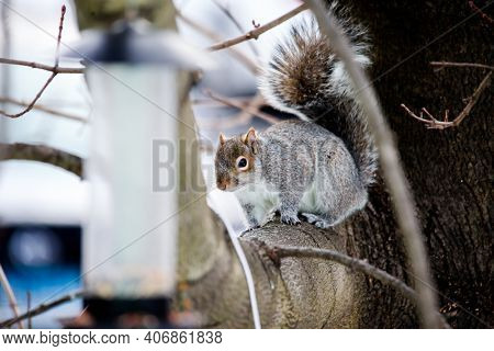Gray Squirrel on tree is looking to bird feeder