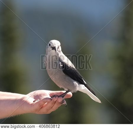 A Clarks Nutcracker bird resting on my wifes hand. Also known as a Clarks Crow