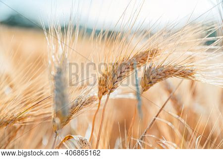 Wheat Field, Agriculture Nature. Ears Of Golden Wheat Close Up. Beautiful Nature Sunset Landscape. R