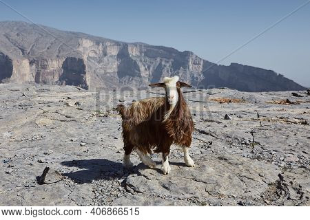 Curious Goat Looking At Camera Against Mountain Canyon. Jebel Shams In Oman