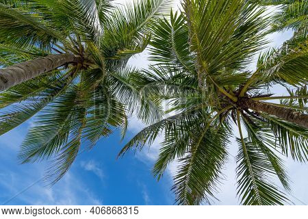 Coconut Palm Trees On Blue Sky And White Clouds Background As Seen From Below Summer And Travel Back