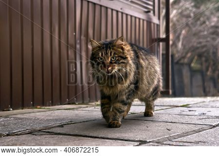 Furry Stray Cat Walking Down The Street Close-up