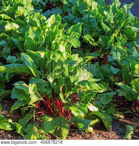 Leaf Of Beetroot. Row Of Beet Root Leaves. Organic Green Red Young Beet Leaves. Closeup Beetroot Lea
