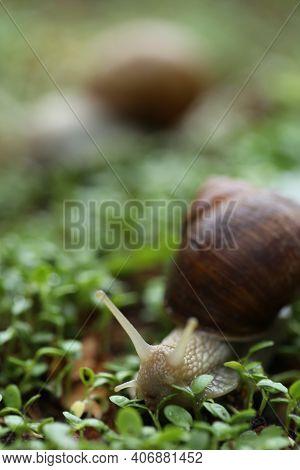 Snail On A Green Leaf . Snail Mucus. Snail Mucin.large Snail On Microgreen Clover On Blurred Garden
