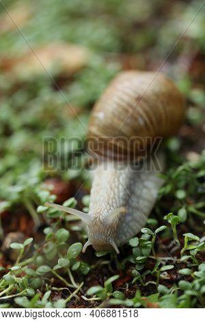Snail On A Green Leaf . Snail Mucus. Snail Mucin. Brown Snail On Microgreen Clover On Blurred Garden