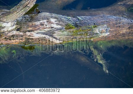 Old Brown Tree With Knots In Water With Soft Green Algae And Moss, Clear Water, Visible Algae On The