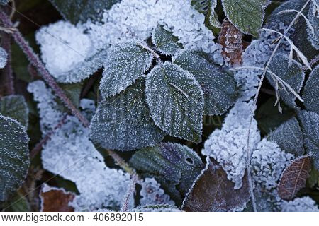 Frozen Colorful Leafs . Multicolored Leaves Covered With Hoarfrost And Icy, Close-up. Abstract Natur