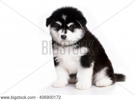 Alaskan Malamute puppy, black and white puppy with long fluffy hair