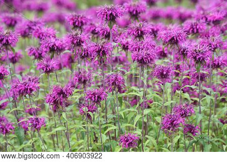 Monarda Is A Lamiaceae Perennial Plant And Is Used By Beekeepers As A Source Of Nectar And Is Also C
