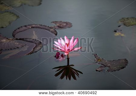 Lotus In The Pond.