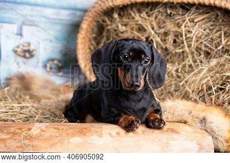 dachshund dog black tan color