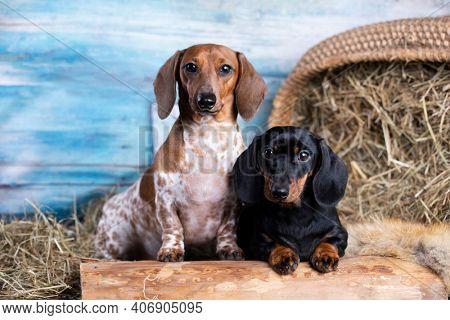 dachshund dog  black tan color and dachshund Dog Piebald